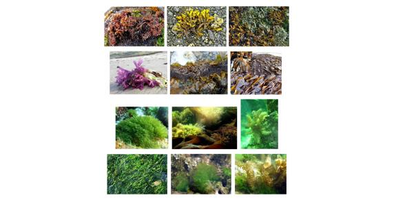 De la Regele Soare până astăzi: multiplele virtuți ale algelor